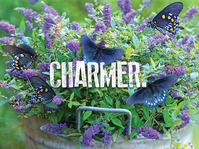 Charmer Butterfly Bush