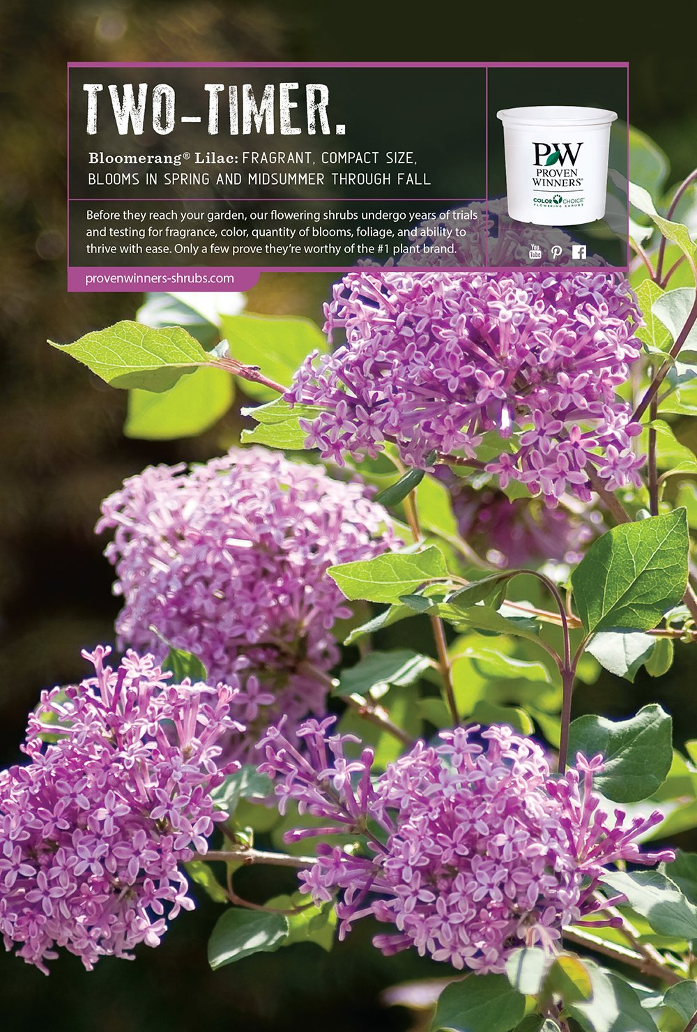 Proven winners flowering shrubs proven winners flowering shrubs once is never enough for this timeless fragrance so our bloomerang reblooming lilacs blossom in spring then summer through fall in purple dark purple or mightylinksfo