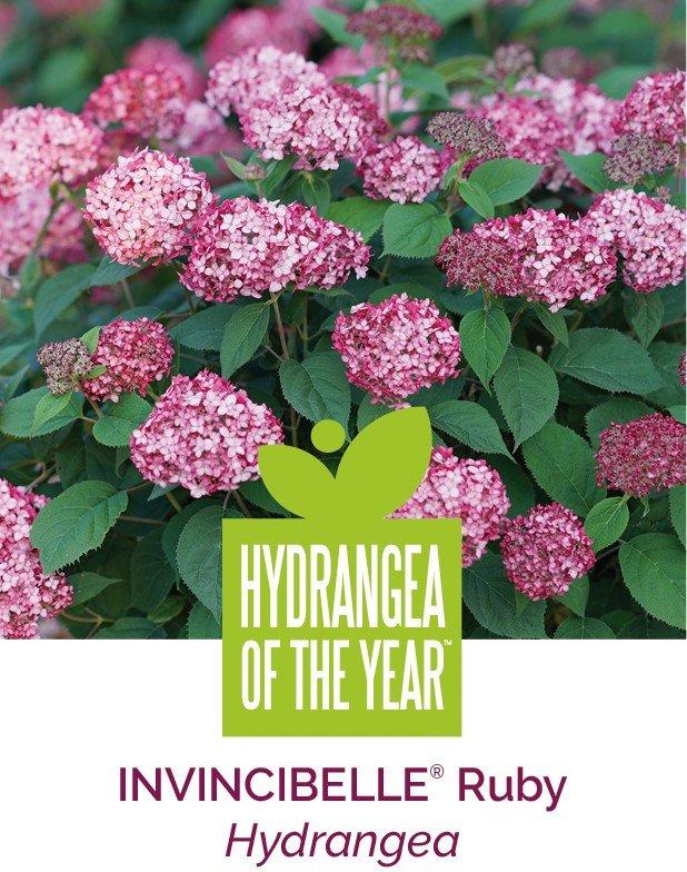Hydrangea of the year