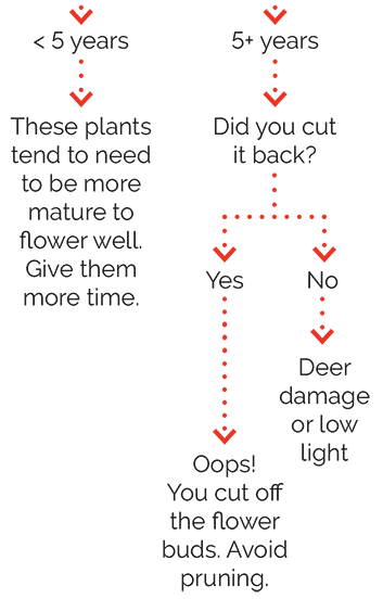 Climbing Hydrangea Size Guide